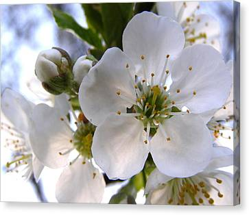 Canvas Print featuring the photograph Opening Act -  Cherry Blossoms by Angie Rea