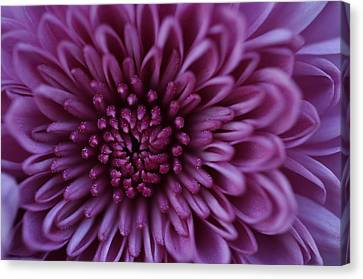 Canvas Print featuring the photograph Purple Mum by Glenn Gordon
