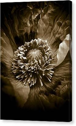 Opium Poppy Papaver Somniferum Canvas Print by Frank Tschakert