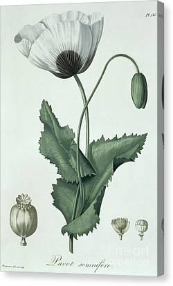 Opium Poppy Papaver Somniferum Canvas Print by LFJ Hoquart