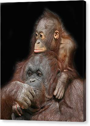 Orang-utan Mother And Baby Canvas Print by Larry Linton