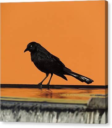 Orange And Black Bird Canvas Print