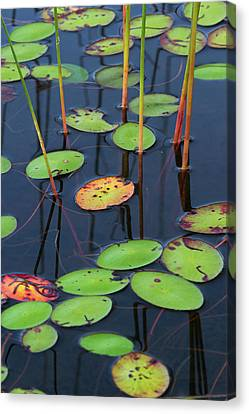 Orange And Green Water Lily Pads  Canvas Print by Juergen Roth