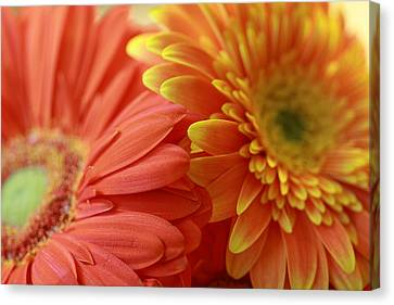 Orange And Yellow Daisies Canvas Print