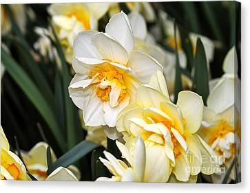 Spring Bulbs Canvas Print - Orange And Yellow Double Daffodil by Louise Heusinkveld