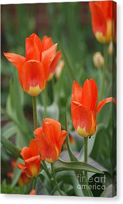 Blending Canvas Print - Orange And Yellow Fire Tulips   # by Rob Luzier