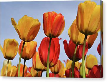 Orange And Yellow Tulips With Blue Sky Canvas Print by Brandon Bourdages