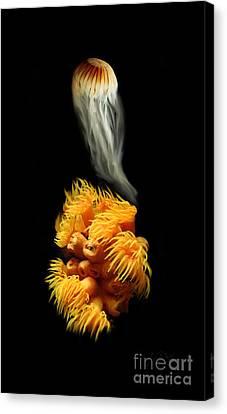 Orange Anemone Canvas Print