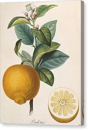 Orange Balotin Canvas Print by Pierre Antoine Poiteau