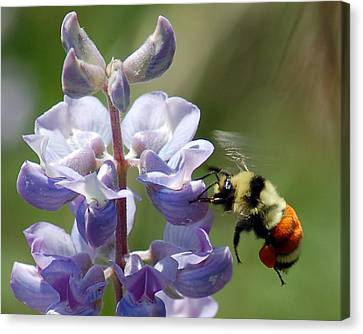 Orange Banded Bumbler Canvas Print