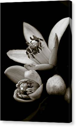 Orange Blossoms Canvas Print by Frank Tschakert