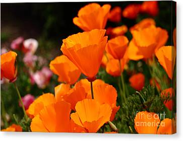 Orange California Poppy . 7d14755 Canvas Print by Wingsdomain Art and Photography
