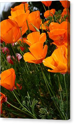 Orange California Poppy . 7d14756 Canvas Print by Wingsdomain Art and Photography