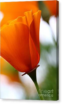 Orange California Poppy . 7d14789 Canvas Print by Wingsdomain Art and Photography