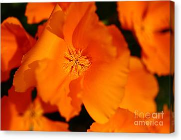 Orange California Poppy . 7d14794 Canvas Print by Wingsdomain Art and Photography