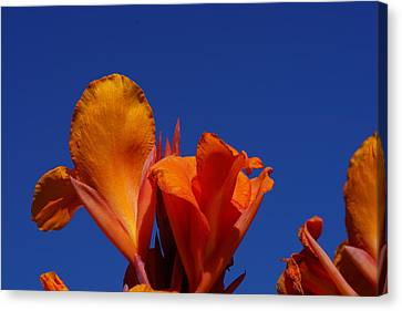 Orange Canna Canvas Print by Carrie Goeringer