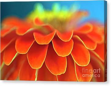 Orange Common Zinnia Canvas Print