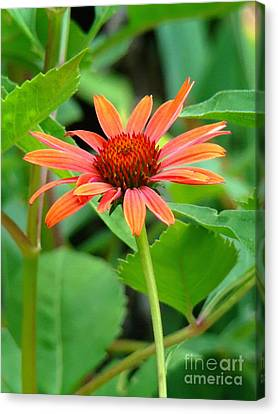 Canvas Print featuring the photograph Orange Coneflower by Sue Melvin