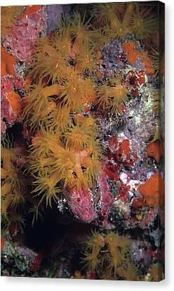 Orange Cup Coral And Sponges Canvas Print by Don Kreuter