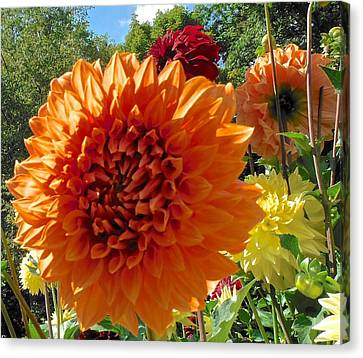 Orange Dahlia Suncrush  Canvas Print