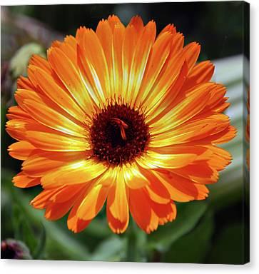 Orange Daisy Delight Canvas Print