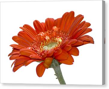 Orange Daisy Gerbera Flower Canvas Print by Pixie Copley