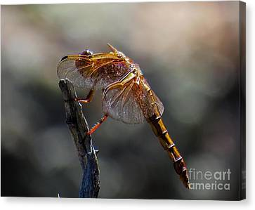 Dragonfly 1 Canvas Print