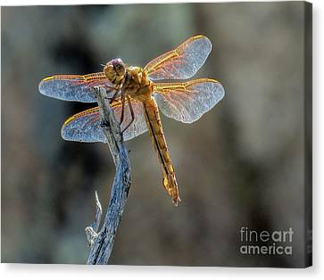 Dragonfly 6 Canvas Print