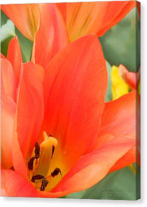 Orange Emperor Tulips Canvas Print