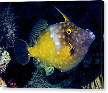 Canvas Print featuring the photograph Orange Filefish by Jean Noren