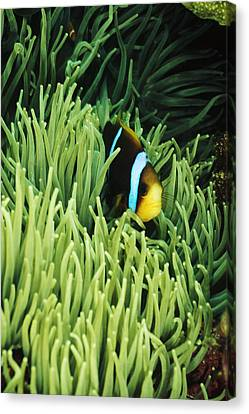 Orange-fin Anemone Fish, Amphiprion Canvas Print by James Forte