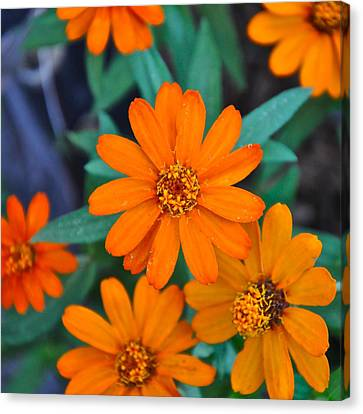 Orange Flowers Canvas Print by Lori Kesten
