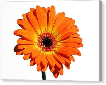 Orange Gerber Daisy Perfection Canvas Print by Juergen Roth