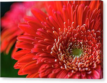 Canvas Print featuring the photograph Orange Gerbera by Clare Bambers