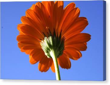 Orange Gerbera Flower Canvas Print by Ralph A  Ledergerber-Photography