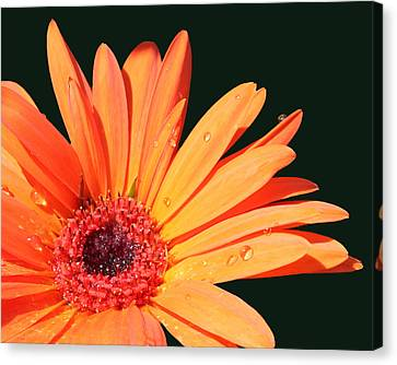 Orange Gerbera On Black Right Side  Canvas Print by Cathy  Beharriell