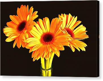 Orange Gerbera's Canvas Print by Scott Carruthers