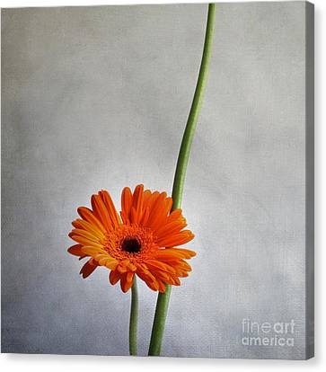 Orange Gernera Canvas Print by Bernard Jaubert
