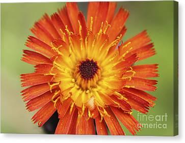 Orange Hawkweed Sunburst 2 Canvas Print by Carolyn Brown