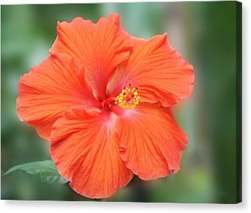Orange Hibiscus Flower Canvas Print