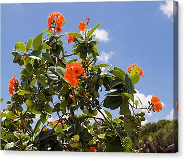 Orange Hibiscus With Fruit On The Indian River In Florida Canvas Print by Allan  Hughes