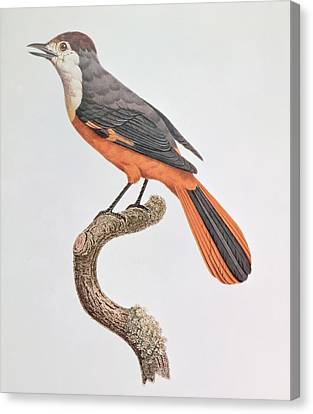 Orange Jay Canvas Print by Jacques Barraband