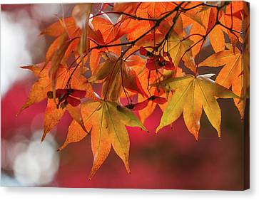 Orange Maple Leaves Canvas Print by Clare Bambers