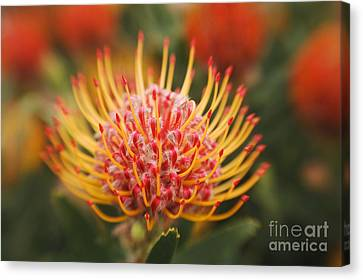 Orange Pin Cushion Protea Canvas Print by Ron Dahlquist - Printscapes