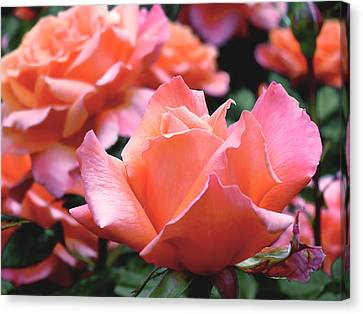 Orange-pink Roses  Canvas Print by Rona Black