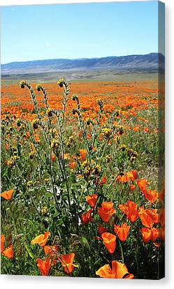 Orange Poppies And Fiddleneck- Art By Linda Woods Canvas Print by Linda Woods