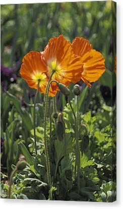 Orange Poppy Flower In The Dallas Canvas Print by Richard Nowitz