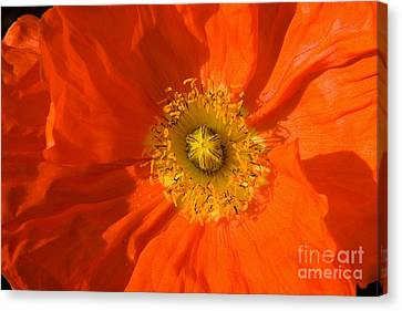 Canvas Print - Orange Poppy Flower by Julia Hiebaum