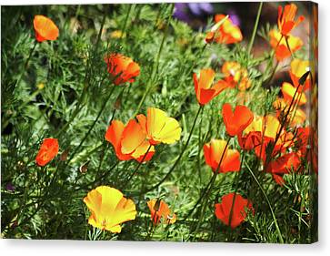 Orange Poppy Flowers . R1269 Canvas Print by Wingsdomain Art and Photography