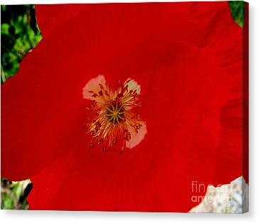 Orange Poppy In Full Bloom Canvas Print by Mary Deal